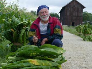 Lorscher Tabakpflanzer bei der Ernte 2017